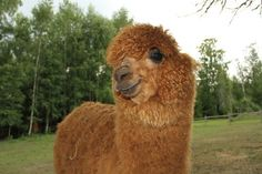 A Very Photogenic Alpaca | Cutest Paw