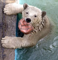 Aurora, a one-year-old female polar bear cub, plays in a swimming pool which was filled with water for the first time this spring, at the Royev Ruchey zoo in Russia's Siberian city of Krasnoyarsk. Two female wild polar bear cubs were found in Russia's Taimyr Peninsula on the Arctic Ocean coast in May 2010 and were later housed at the zoo in Krasnoyarsk. Photo by Ilya Naymushin / REUTERS