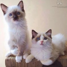 Hello, world! We are two bro-sis Ragdolls living in San Francisco....... cats_of_instagram from @popo_and_stella