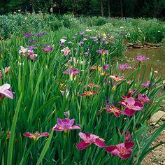 red-flowered species I. fulva.             Name: Iris fulva                            Growing Conditions: Full sun, PONDSIDE                                        Size: 3 feet tall   Zones: 5-9