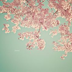Cherry Blossom Tree Nature Photography  Botanical by DreamyPhoto, $25.00