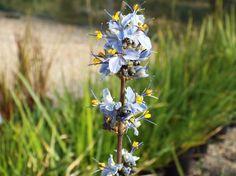Libertia caerulescens South Devon, All Plants, Seaside, Coastal, Garden, Silver, Blue, Garten, Beach