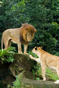A couple of lions by Tuomas Lehtinen #lion #Lion #kingofthejungle #bigcat #BigCatFamily