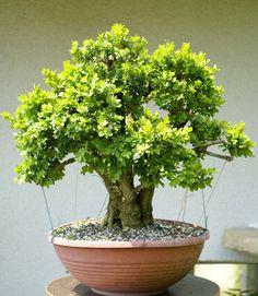 in training Boxwood Bonsai, Bonsai Garden, Garden Trees, Garden Art, Bonsai Art, Pots, Bonsai Styles, Buxus, Pot Plante