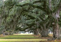 """Spanish moss ... sometimes spooky, sometimes romantic, sometimes nostalgic, but always reminding me of home!  (Site I pinned from has some cute colloquialisms too, some """"cleaned up"""" a bit, and a few not quite accurate to my own family at least, some I've never heard, LOL, but a fun quick read)"""