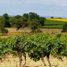 Languedoc vineyards near Carcassonne south of France