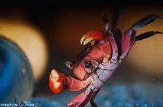Výsledek obrázku pro krab suchozemský