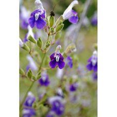 Salvia candelabrum - Sauge candelabre - vivace pour jardin sec Salvia, Lavender, Flowers, Plants, Dry Garden, Big Flowers, Andalusia, Blue Flowers, Shrub