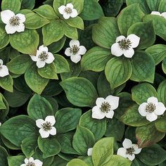 Bunchberry - full shade ground cover - white flowers in spring, red berries in autumn