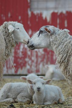 Sheep family by ©laura l. wentz on flickr