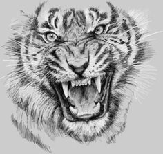 angry tiger drawing - Google Search