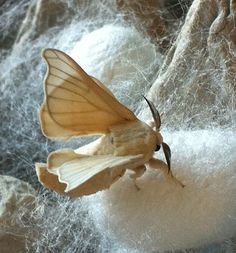 Silk worm Moth and cocoons. Only eat Mulberry leaves & give us our amazing silk fiber.