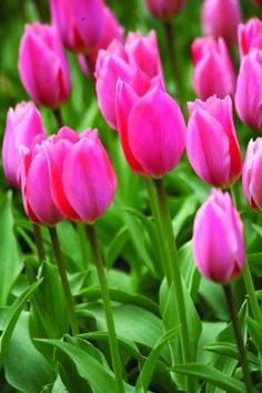 Tulipa 'Albert Heijn.' A Fosteriana tulip---good for perennializing. 12 to 16 inches tall. Early to mid spring. Brent and Becky's Bulbs.