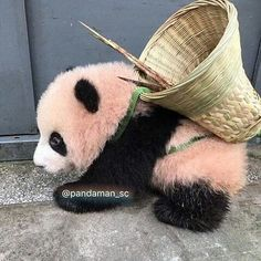 Do You love pandas ? So You are at the right Place Follow us for daily Panda Posts __ __ #panda #панда #팬더 #熊貓#熊猫#pandas #pandabear #pandalove #pandalife #giantpanda #instapanda #naH #Cute_animal #lovepanda #หมแพนดา #Cute #instagood #animals #лайк #animal #животные #видео #animal #followforfollow #follow4follow