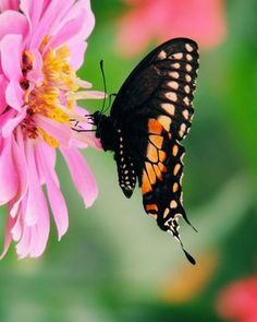 Items similar to Butterfly Photograph - Pink Flower - Black Swallowtail Butterfly - Wildlife - Garden Scene - Fine Art - Wall Decor - Nature Photograph on Etsy Pink Flowers, Butterflies, Nature Photography, Wildlife, Bee, Bloom, Lily, Garden, Prints