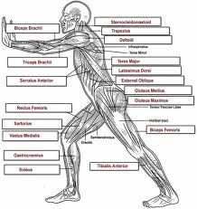 blank head and neck muscles diagram | body muscles | pinterest, Muscles