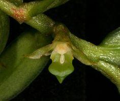A Adenoncos nasonioides Schltr. (1911) possui flores tão minúsculas que em seu habitat natural pode passar desapercebida, já que cresce em meio a galhos e copa das árvores das matas e florestas densas da Ilha de Celebes