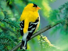 I want a yellow finch sitting on a branch with flowers underneath it tattooed on the left side of my chest. The yellow finch represents my grandpa since it was his favorite bird. Bird Wallpaper, Animal Wallpaper, Cute Birds, Pretty Birds, Yellow Finch, Yellow Birds, Most Beautiful Birds, Goldfinch, Bird Pictures