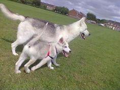 Husky girls.. there is a new guy in town! Stunning husky for stud, Male, 2-3 years