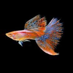Nano Aquarium, Nature Aquarium, Aquarium Design, Planted Aquarium, Aquarium Fish, Guppy, Oscar Fish, Red Grass, Shrimp Tank