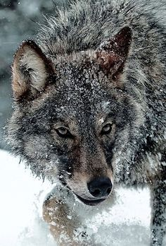A Wolf Casually Checking Things Out. Wolf Images, Wolf Photos, Wolf Pictures, Beautiful Wolves, Animals Beautiful, Wolf Husky, Wolf Life, Wolf Stuff, Wolf Spirit Animal