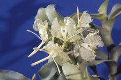 Sociedad Colombiana de Orquideología | Epidendrum barbeyanum