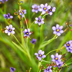 Blue-eyed grass  (Sisyrinchium idahoense bellum)  Native to: Coastal California and Oregon  Grows 4 in. to 2 ft. high, 6 in. to 2 ft. wide. ...