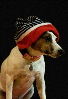 Hipster jack russell