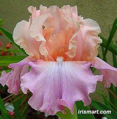 Tall Bearded Iris Flowers | very beautiful Iris. High awards winner. Peach pink standards with ...