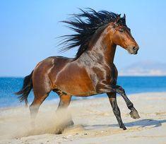 Andalusian stallion, Divertido. photo: Ekaterina Druz.