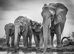 Majestics - An elephant family, Mashatu, Botswana.