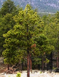 Ponderosa Pine - Native evergreen with long, yellow-green needles in clusters   of 2 or 3. Plate-like bark is cinnamon to dark brown.