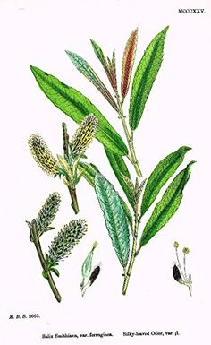 """Sowerby's English Botany - """"SILKY LEAVED OSIER B"""" - Hand-Colored Litho - 1873"""