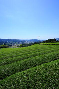 青空 茶畑 和束町 京都