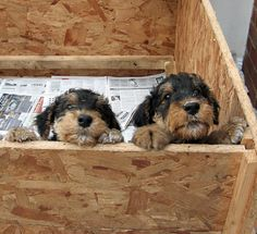 airedale-terrier- A carton of love!