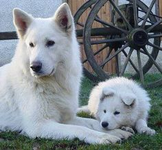 "white german shepherd mom and baby!!..they have a sweet temperament and Have a ""softer,"" more mellow personality than a traditionally-colored German Shepherd"