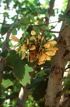 Hegyi juhar (Acer pseudo-plantanus, Aceraceae) (Seregélyes Tibor felvétele)