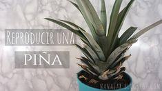 cultivar, plantar o reproducir una piña Plantar, Pineapple, Fruit, Garden, Youtube, Growing Up, Garten, Pine Apple, Lawn And Garden