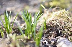 Crocuses are growing Mountain Living, Finland