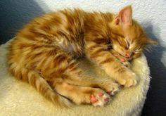 sleepy little ginger cat
