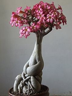Adenium Flower Bonsai - Not as popular as junipers, but unanimously loved for their delicacy and frailness, flower bonsais can come up in extraordinary forms.  Mr. Jai Krishna Agarwal from india has about 100 specimens in his collections and he especially loves adenium flowers. Why? Because their trunks often remind the shapes of the human body . The effect is surrealistic to say the least, this beautiful example shown here brings to mind some elaborate fauvist sculpture.