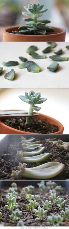 //garden and plants - how to propagate succulents from leaves Importante. No cubras con tierra las hojas de suculentas pues se pudren. Garden Types, Diy Garden, Garden Landscaping, Terrace Garden, Garden Plants, Garden Projects, Landscaping Ideas, Garden Sheds, Edible Garden
