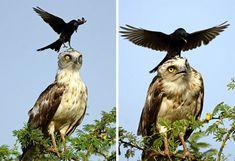 Les corbeaux, on les connait et on les adore, même s'ils sont noirs, entièrement noirs! Ces oiseaux, on peut les voir de temps à autre, survolant nos têtes, mais jamais à proximité et pourtan…
