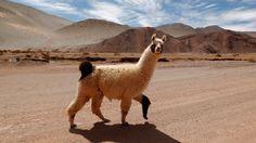 2 llamas on the run in Arizona transfix America (VIDEO) <3