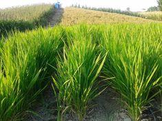 L'importanza dell'irrigazione a goccia nella coltura del riso