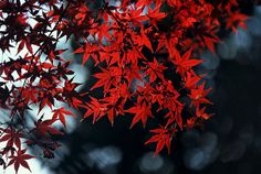 ENC has a Japanese Maple Tree on campus! Beautiful red leaves | Eastern Nazarene College | www1.enc.edu |