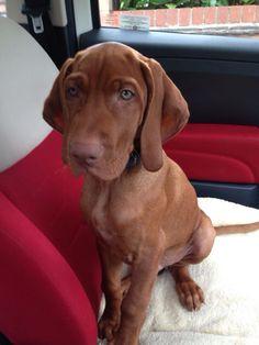 Vizsla Puppies, Weimaraner, Cute Puppies, Dogs And Puppies, Puppy Pics, Cute Puppy Pictures, Dog Pictures, Hungarian Vizsla, Puppy Dog Eyes