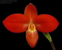 Phragmipedium besseae ('Haven' x 'Smokin')