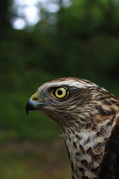 Eurasian Sparrowhawk (Accipiter nisus) by mkizielewicz