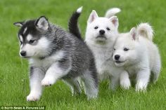 re~homed huskies puppies in britain after the mum found abandoned wandering the streets